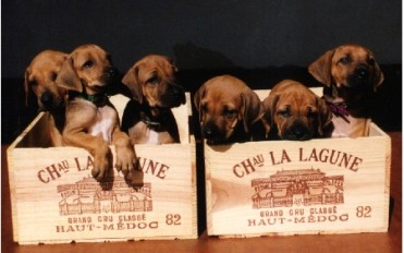pups in wine boxes